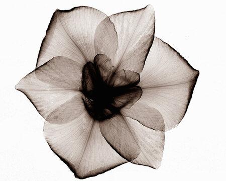 X-ray image of Japanese iris flower