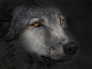 Photo sur Plexiglas Loup dark wolf close up