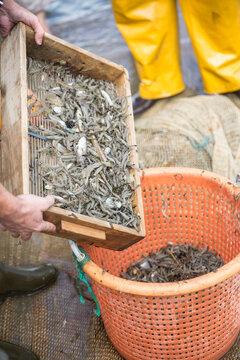 Shrimp fishermen with catch, Oostduinkerke, Belgium