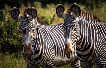 Pair of common zebras stare at camera with ears high.