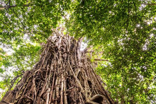 Low angle view of a huge Australian strangler fig tree