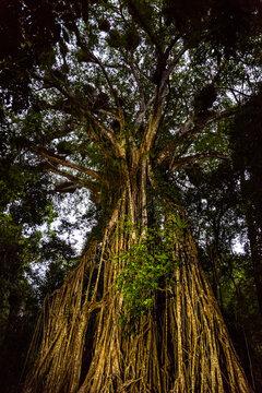 Australian strangler fig tree painted with light at dusk