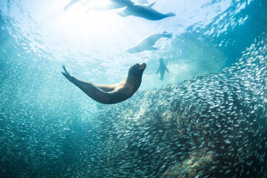 View of California sea lion pup swimming by shoal of bait fish in sea