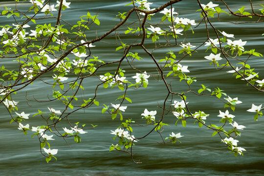Mountain Dogwood flowering along the Merced River
