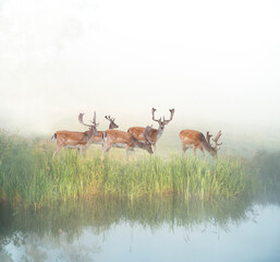 fallow deer grazing by river in foggy sunny morning