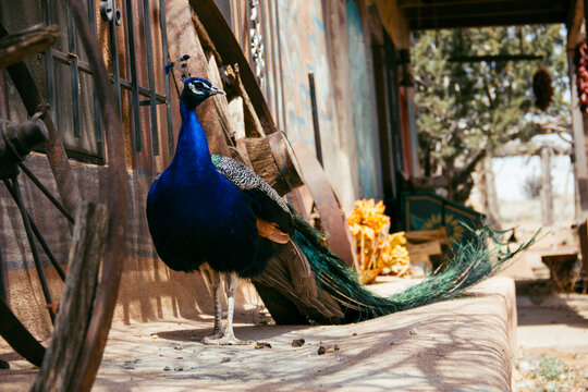 Peacock standing outside house