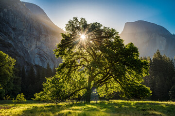 View of oak tree in Cooke's Meadow with Half Dome in background