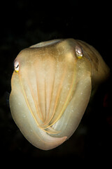 Close up of cuttlefish swimming underwater