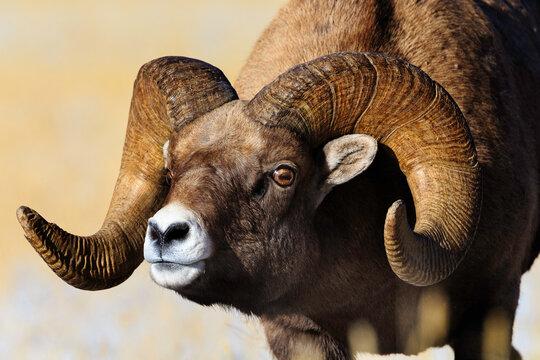 Close up of bighorn sheep