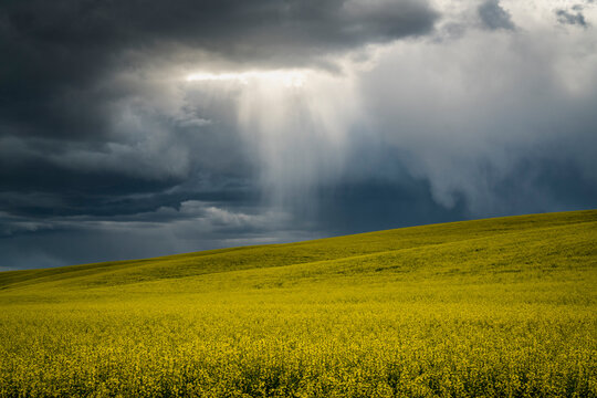 Rain storm passing over field of canola