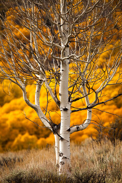 Close up bare aspen tree during autumn