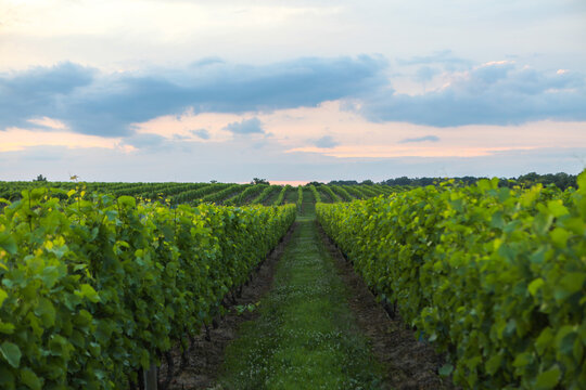 Wolffer Estate Vineyard at sunset in Hamptons, Long Island, New York