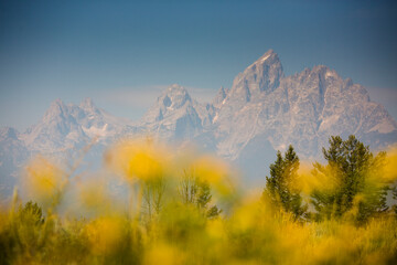Scenic view of Teton Range with yellow flowers in foreground