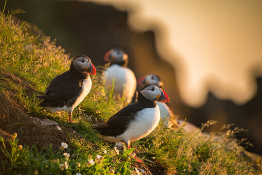 Atlantic puffins foraging for food during sunrise, Iceland