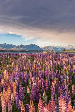 Field of Russell lupines along Lake Tekapo on New Zealand's South Island