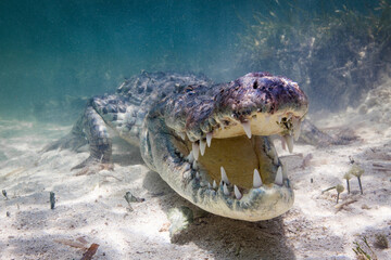 Portrait of American crocodile in sea