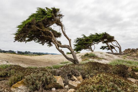Cypress trees at Point Joe