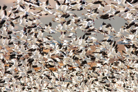 Flock of snow geese flying during annual migration