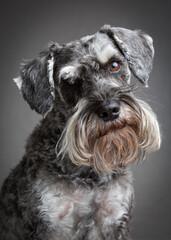 Portrait of standard schnauzer
