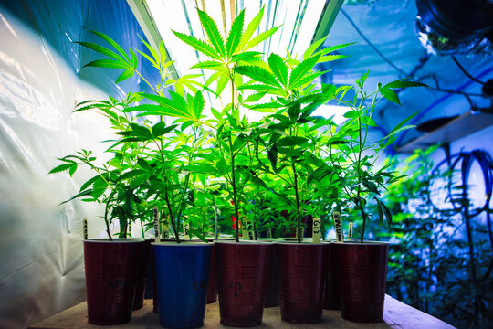 Close up of cannabis plants