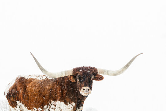 Portrait of Texas longhorn cattle standing in winter storm