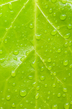 Close up of water drops on English ivy leaf