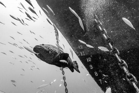 Atlantic goliath grouper swimming in sea