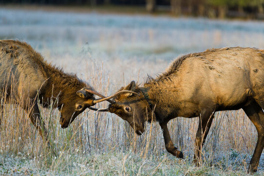 Two bull elk locking horns in Cataloochee Valley