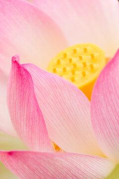 Close up of Chinese lotus