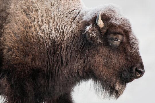 Close up of bison