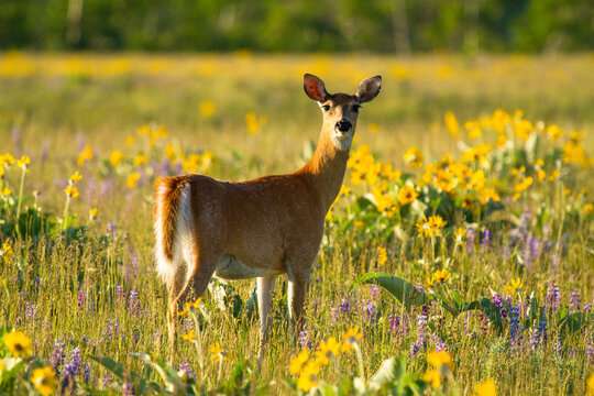 Portrait of white tailed deer