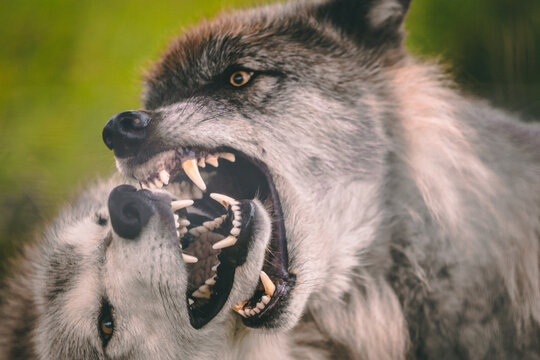 Grey Wolf Alpha Male and Female Close-Up Play Fighting