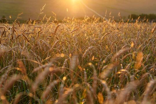 Background of ripening ears of meadow gold wheat field.