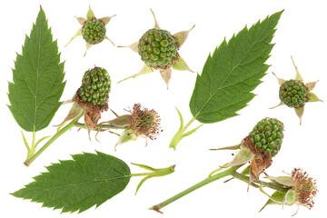 blackberry fruit leaf collection