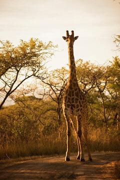 2020-7-african-stock-photo-bush-shoot-giraffe
