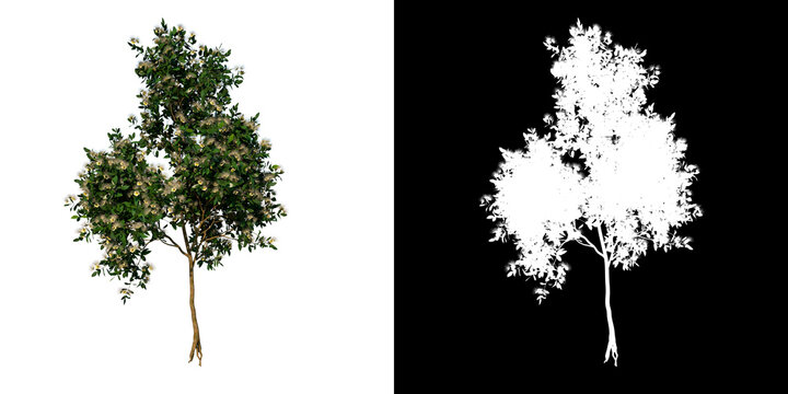Front view tree (Young Sea Apple 3) white background alpha png 3D Rendering Ilustracion 3D