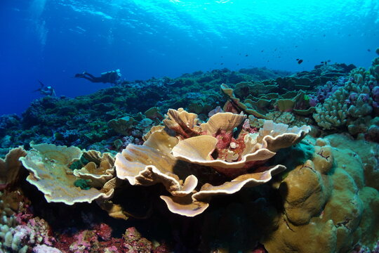 coral reef off Swains Island in National Marine Sanctuary of American Samoa.
