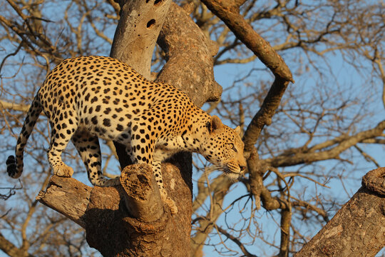 Leopard in a tree South Africa