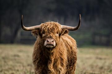 Printed kitchen splashbacks Cow Highland cow grazing in Yorkshire.