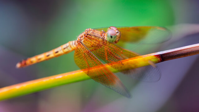 multicolored dragonfly on a branch. macro photo of this beautiful and elegant insect near a pond in Thailand