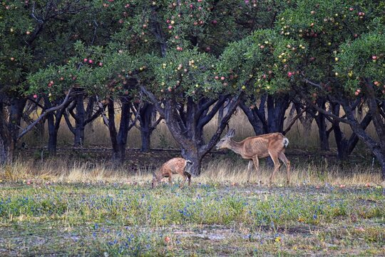 Mule Deer, Odocoileus hemionus, Doe and spotted baby fawn grazing in the morning around an apple tree orchard in Provo Utah County along the Wasatch Front Rocky Mountains. USA.