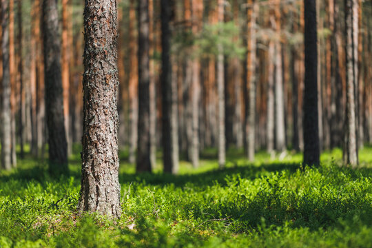 Background pine forest with green lush blueberry grass. Focus in foreground, blurred background.