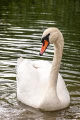 Portrait of adult mute swan