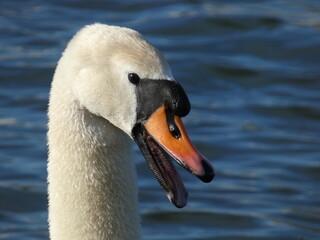 Angry mute swan (Cygnus olor) - portrait of swan hissing