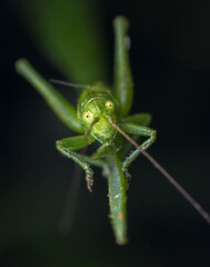Little green grasshopper caught looking at camera macro photography