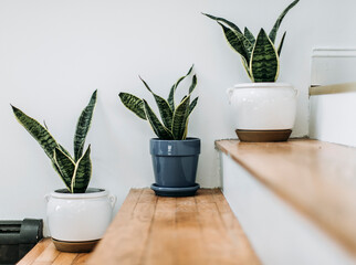 Three potted cactus sit on hardwood stairs indoors against white wall