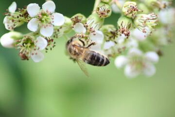 honey bee collects nectar and pollinates the flowers