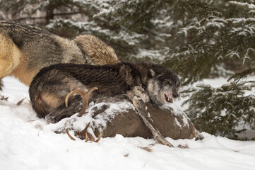 Wall Mural - Black Phase Wolf (Canis lupus) Stands Over Deer Carcass Winter