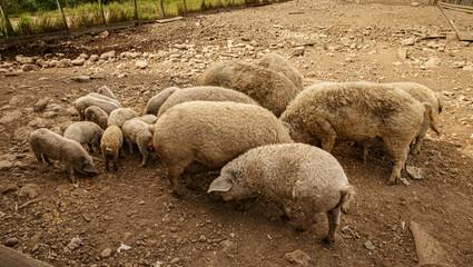 Mangalica domestic pig