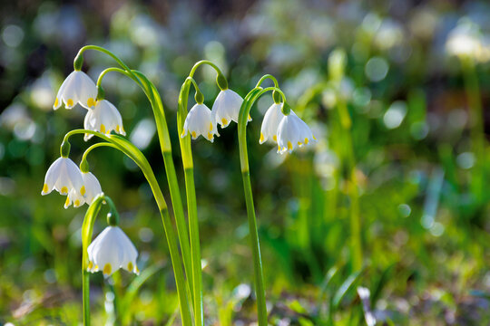 bunch of snowflake flowers on the forest glade. spring nature background on a sunny day